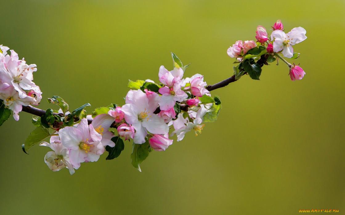 цветы, цветущие деревья ,  кустарники, цветки, ветка, яблоня, природа, макро, цветение, весна